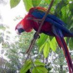 red-arara